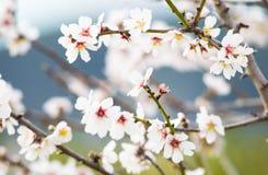 Белое цветение цветка вишни, весна Стоковые Фотографии RF
