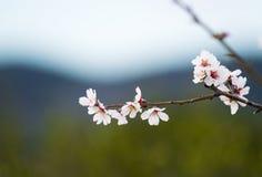 Белое цветение цветка вишни, весна Стоковое Изображение RF