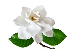 Белое цветение цветка Gardenia Стоковое Изображение RF