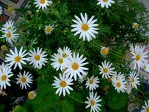 Белое цветение camomiles среди зеленых цветов Стоковые Фото