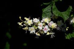 Белое цветорасположение каштана конского Стоковые Изображения