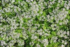 Белое цветорасположение первых цветков весны Стоковые Изображения