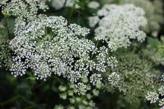 Белое Baby& x27; цветок дыхания s стоковые фотографии rf