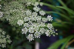 Белое Baby& x27; цветок дыхания s стоковое изображение rf