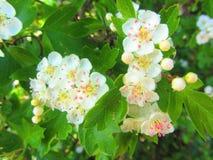 Белое Blossem Стоковые Фото