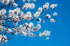 Белое blossoming дерево против голубого неба Стоковое Фото