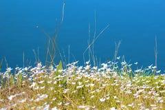 Белое Bluets на голубой предпосылке Стоковое Изображение