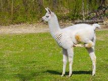 Белое cria ламы Стоковая Фотография