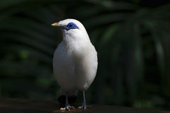 Белое cristatellus Стоковая Фотография