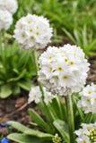 Белое denticulata Primula первоцвета Alba стоковые изображения rf
