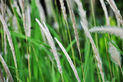 Белое grassflower стоковые изображения