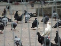 Белое pegeon - птица стоковые изображения