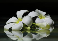 Белое plumier на стекле Стоковое Фото