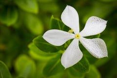 Белое roseus Catharanthus Стоковое Изображение