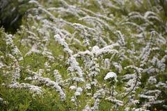 Белое spirea Стоковые Фото