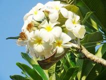 Белое Templetree Стоковые Изображения RF