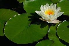 Белое Waterlily Стоковая Фотография