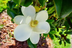 Белое yulan сердце цветка Стоковое Фото
