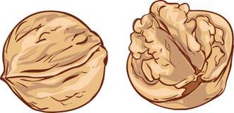 Белой вектор шаржа грецкого ореха предпосылки нарисованный рукой бесплатная иллюстрация