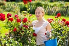 Белокурая женщина позаботить о кусты красной розы стоковая фотография