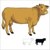 Белокурая корова d'Aquitaine на белизне Стоковое фото RF