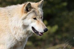 Белокурые головы и плечи крупного плана волка Стоковое Изображение RF