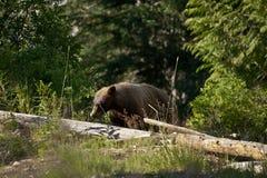 Белокурый черный медведь Стоковые Изображения