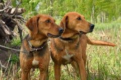 2 белорусских гончей собаки Стоковые Фото
