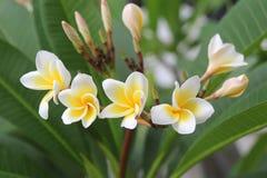 Бело-желтые цветки plumeria на ветви в парке Стоковые Фото