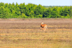 Бело-замкнутая лань и ее пыжик идут через поле в облыселой охраняемой природной территории ручки в облыселой ручке Стоковые Изображения