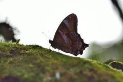 Бело-замкнутая черная бабочка тени Стоковые Изображения RF
