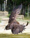 Бело-замкнутое летание орла Стоковое фото RF