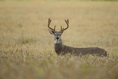 Бело-замкнутые олени прокладывать сезон Стоковая Фотография RF