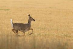 Бело-замкнутые олени прокладывать сезон Стоковое Изображение