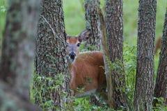 Бело-замкнутые олени прокладывать сезон Стоковая Фотография