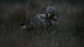 Бело-замкнутый орел летая прочь акции видеоматериалы