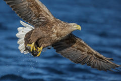 Бело-замкнутый орел с задвижкой стоковая фотография