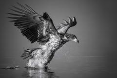 Бело-замкнутый орел улавливает рыб Стоковое Изображение