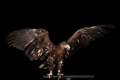 Бело-замкнутый орел, хищные птицы изолированные на черной предпосылке Стоковое Изображение