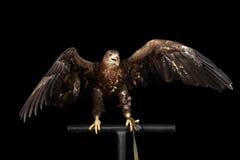 Бело-замкнутый орел, хищные птицы изолированные на черной предпосылке Стоковые Фотографии RF