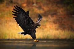 Бело-замкнутый орел, albicilla Haliaeetus, подавая рыба убийства в воде, с коричневой травой в предпосылке, посадка птицы, flig о Стоковая Фотография