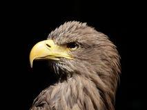 Бело-замкнутый портрет орла стоковые изображения rf