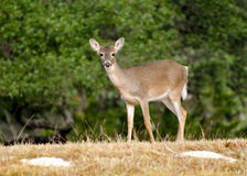 Бело-замкнутый пыжик оленей, страна холма Техаса Стоковое Изображение