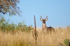 Бело-замкнутый самец оленя оленей, страна холма Техаса Стоковое Фото