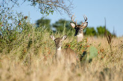 Бело-замкнутый самец оленя оленей, страна холма Техаса Стоковые Фото