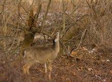 Бело-замкнутый след оленей близко Стоковое Фото