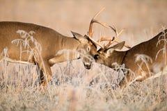 Бело-замкнутый sparring самецов оленя оленей Стоковое фото RF