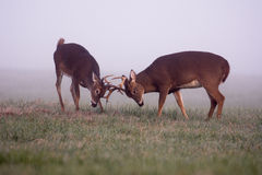 2 бело-замкнутых самца оленя оленей в тумане Стоковое Фото