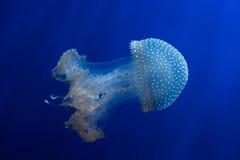 Бело-запятнанные медузы (punctata Phyllorhiza) стоковая фотография rf