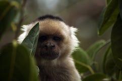 Бело-лицая обезьяна Capucchin, Никарагуа Стоковое Изображение